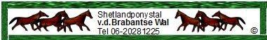 Shetlandponystal van de Brabantse Wal